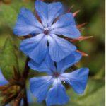 cerato flor de bach para la intuición