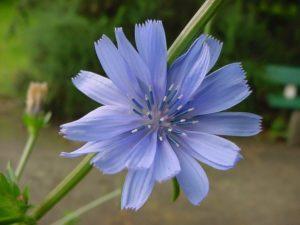 achicoria flor de bach desapego