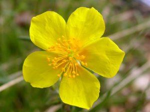 heliantemo flor de bach