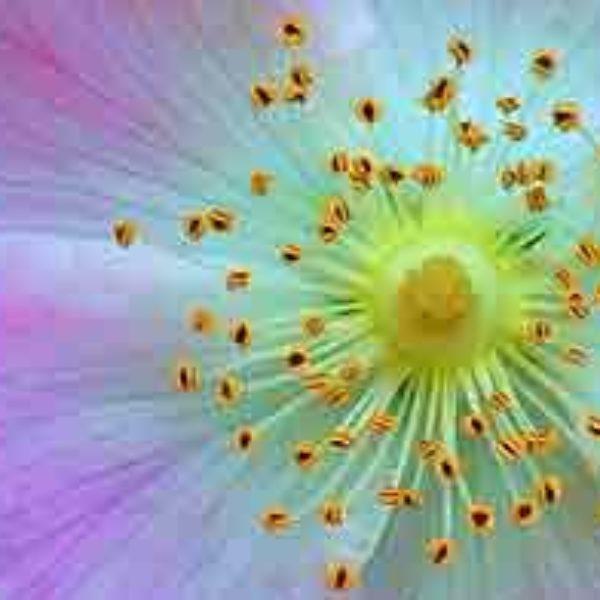 flor de bach rosa silvestre
