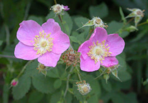 rosa silvestre recupera tu felicidad existencial