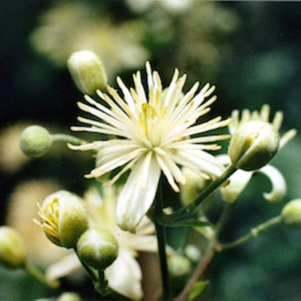 luz pura floral clematide-liderazgo. Curso online