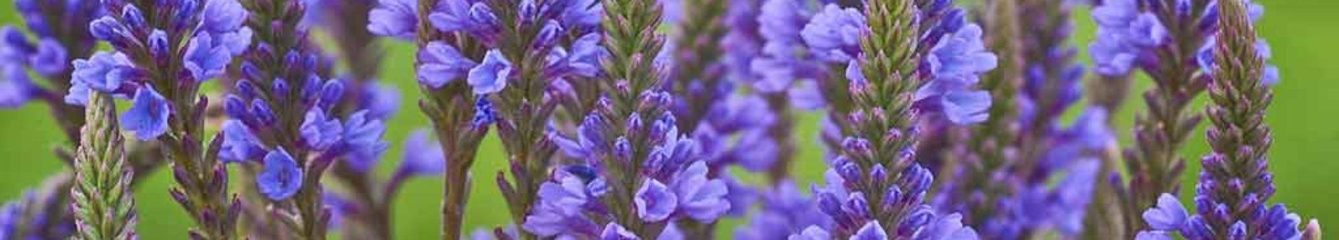 Luz Pura Floral Verbena-Ecuanimidad. Curso Online
