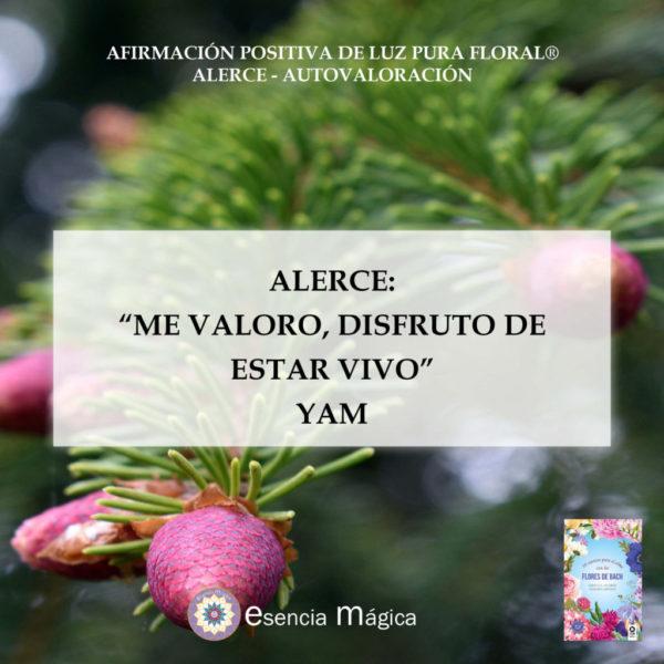 alerce yam