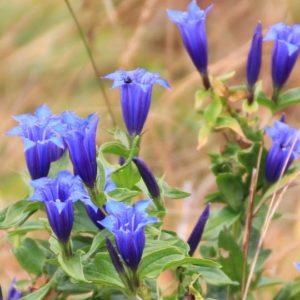 genciana ilusión curso de invierno flores de Bach