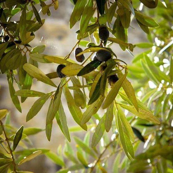 olivo-miniatura