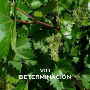 Vid-Determinación