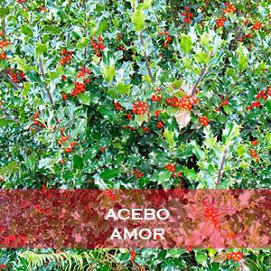 Acebo-Amor