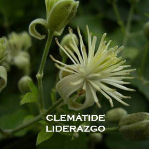 Clemátide-Liderazgo