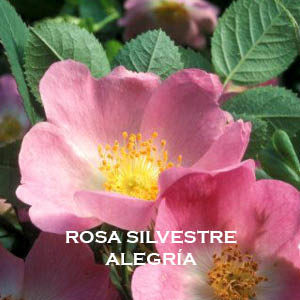 Rosa Silvestre- Alegría