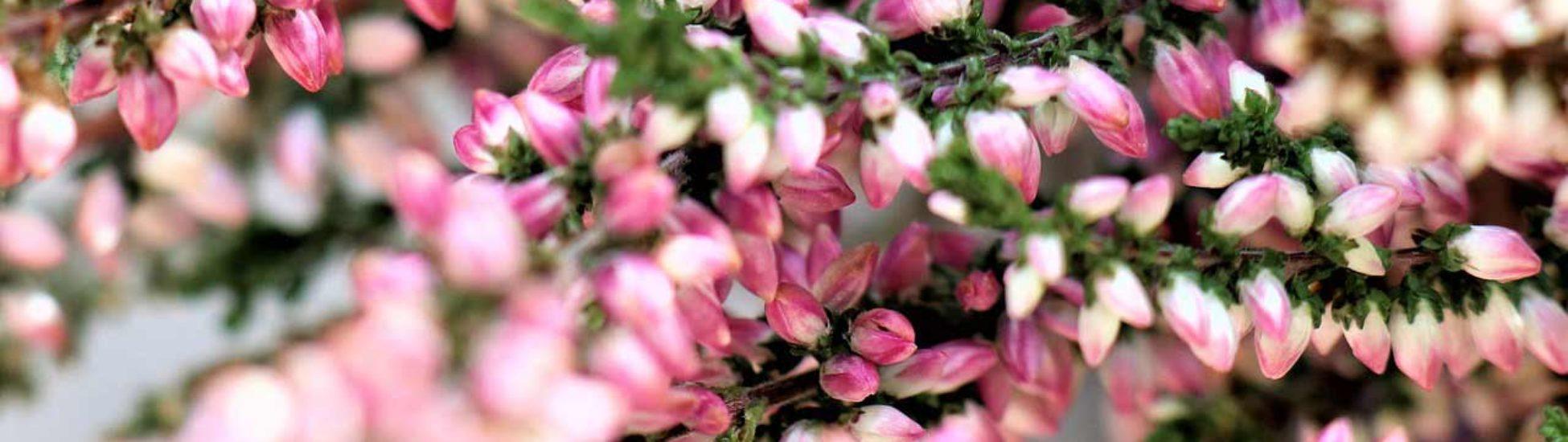 brezo-miniatura