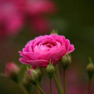 rosa-miniatura
